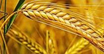 برنامه جدید وزارت کشاورز برای عرضه انواع محصول و گندم با حجم بالا در بورس کالا